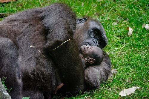 SLEEPING mother and baby gorilla