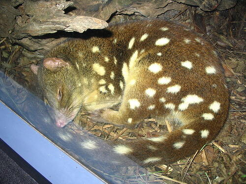Spotted-tail_quoll_sleeping_at_Sydney_Wildlife_World