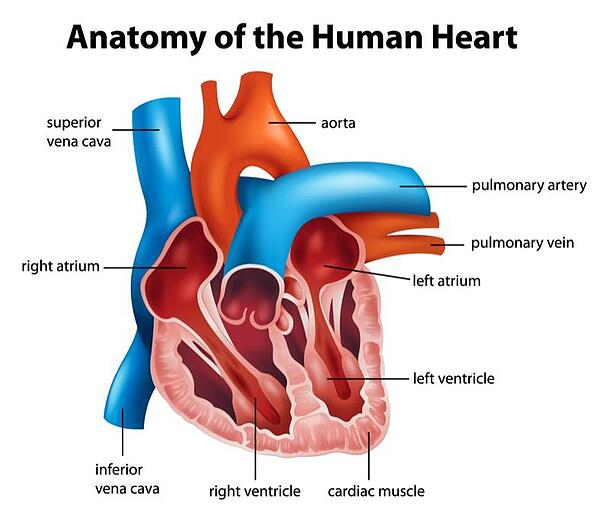anatomy of the heart and sleep apnea