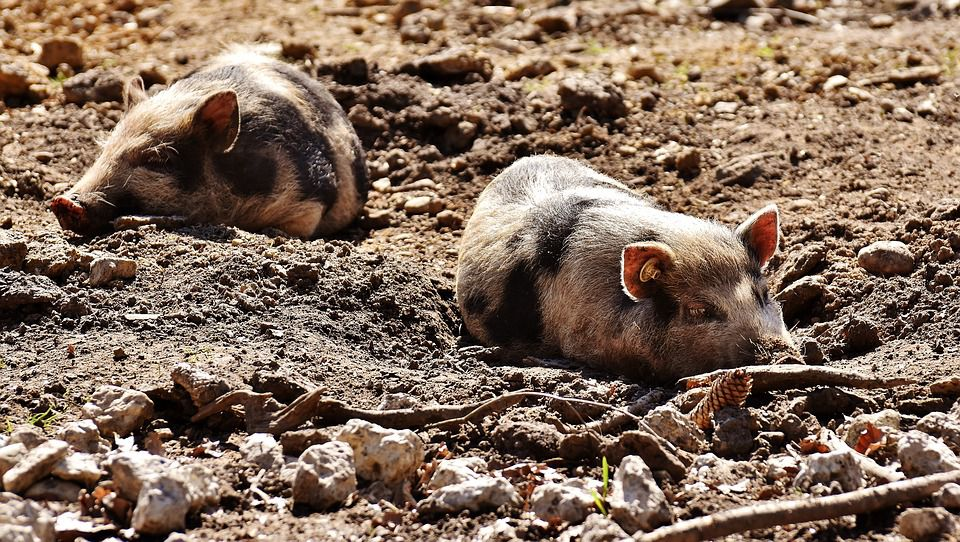 napping piglets.jpg
