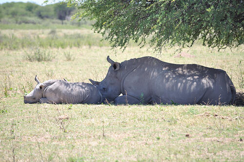 rhino mother with baby napping