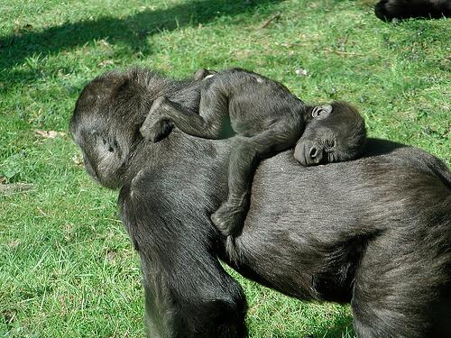 sleeping baby gorilla