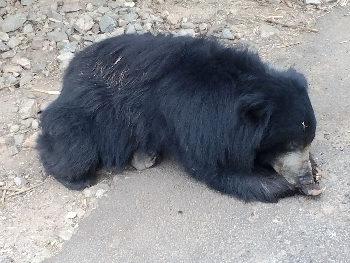 sleeping bear in Bangalore