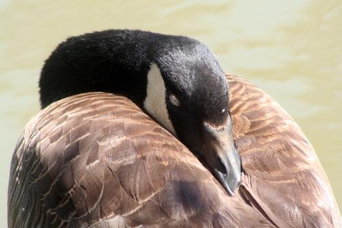 sleeping canadian goose