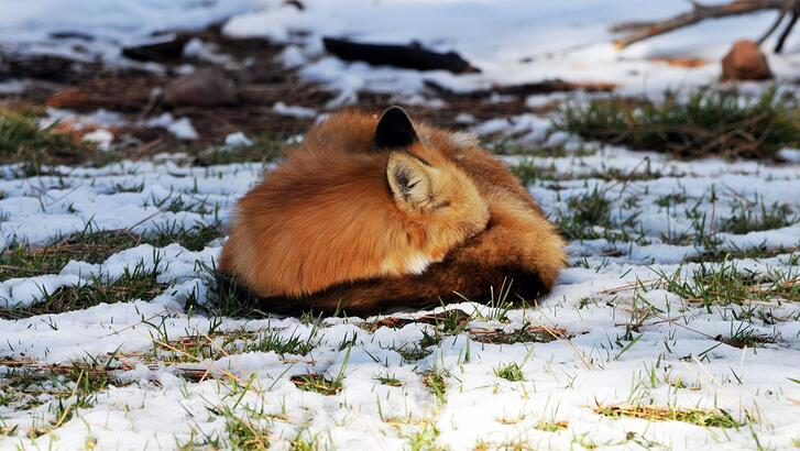 sleeping fox 2.jpg