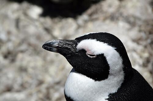 sleeping penguin closeup