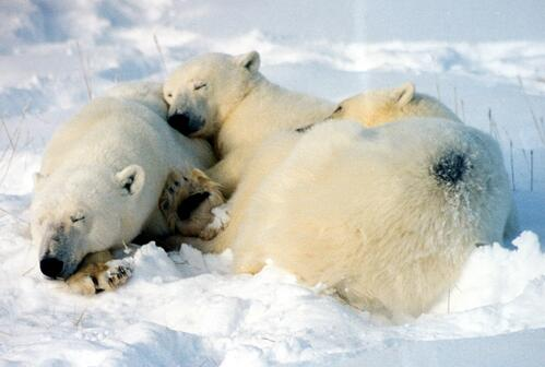 sleeping polar bear family