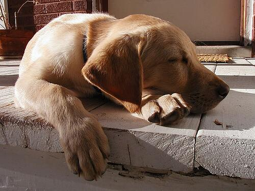sleeping yellow lab
