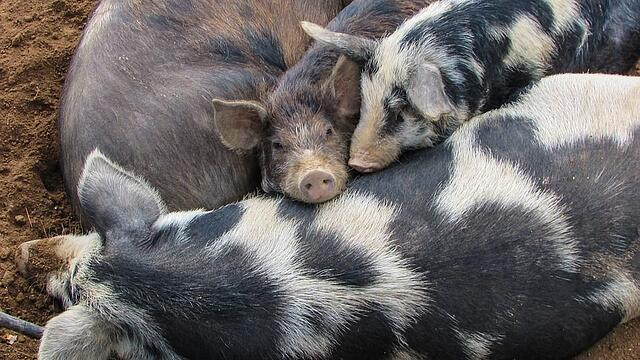 sleepy piggies.jpg