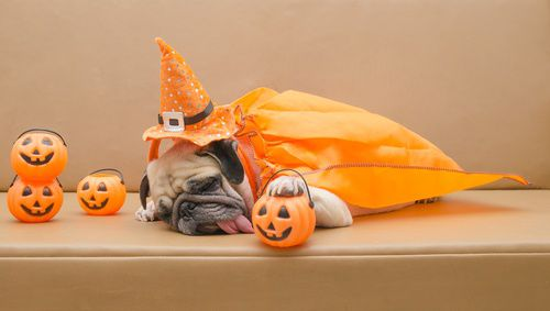 trick or treat pug