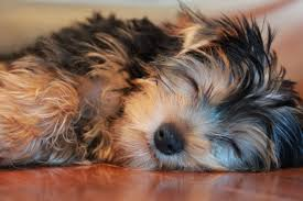 Free Images : puppy, close up, vertebrate, dog breed, lhasa apso ...