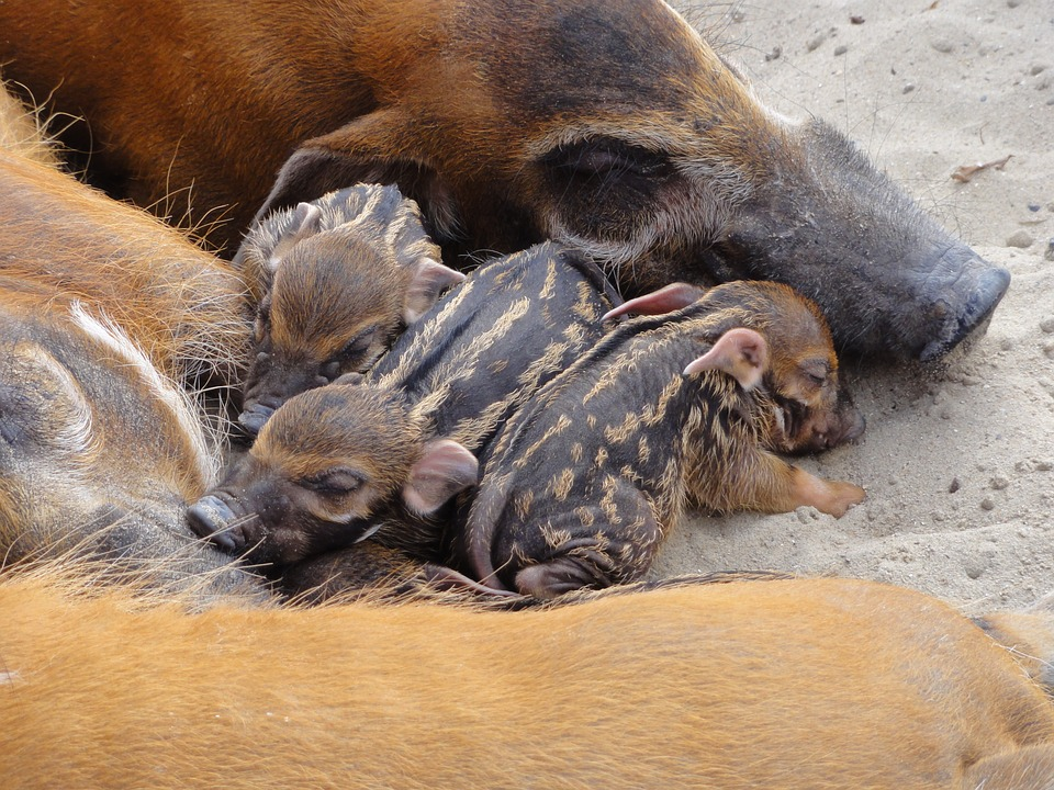 bush pigs asleep with mama