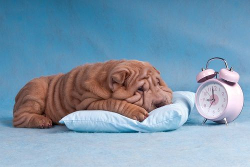 sleepy_wrinkly_dog.jpg