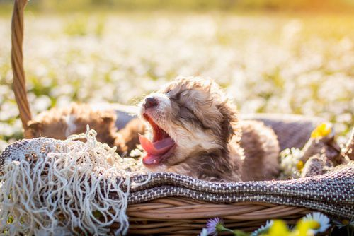 yawning_puppies.jpg